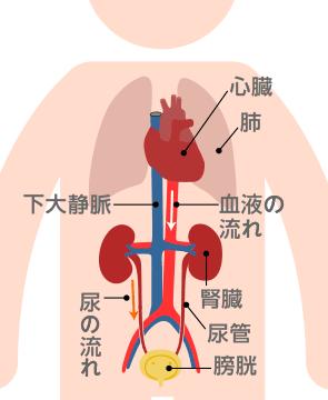 の はたらき 腎臓 腎臓とそのはたらき